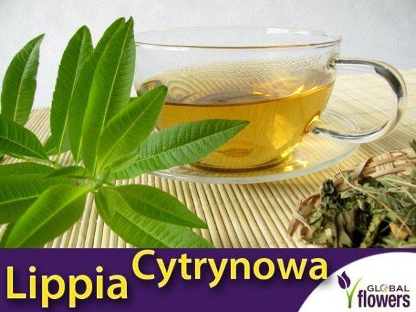Lippia trójlistna (Aloysia citrodora) Werbena cytrynowa Sadzonka