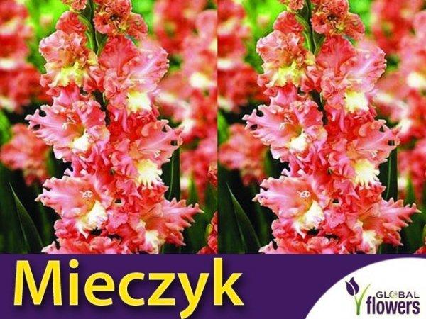 Mieczyk wielokwiatowy (Gladiolus) Frizzled Coral Lace CEBULKA 5 szt.