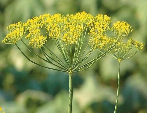 Koper ogrodowy Koperek Figielek Seria dla Dzieci  (Anethum graveolens)