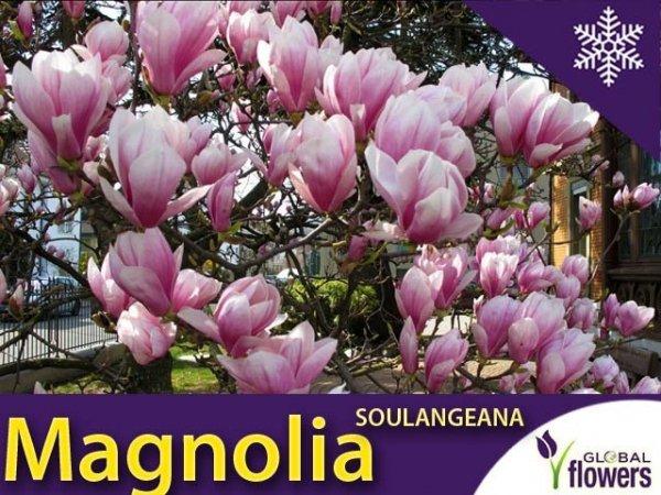 Magnolia Pośrednia 'Soulangeana' (Magnolia Soulangeana)Sadzonka