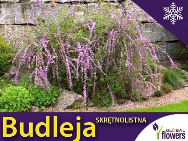 Budleja skrętolistna Sadzonka (Buddleja alternifolia)