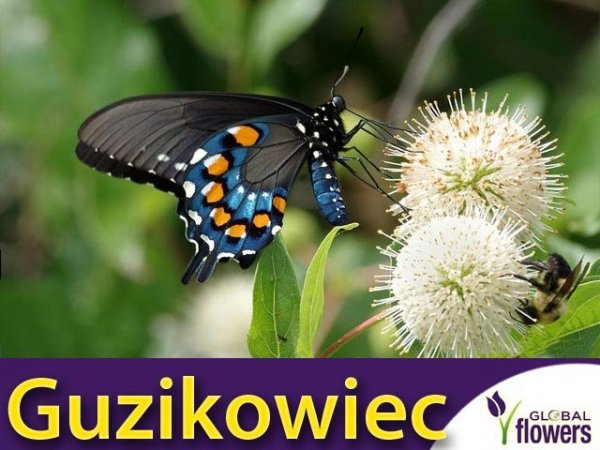 Guzikowiec zachodni (Cephalanthus occidentalis) Sadzonka