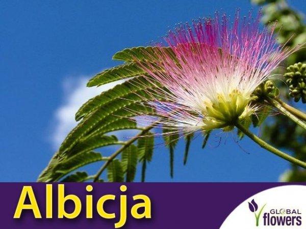 Albicja - Jedwabne Drzewko (Albicja Rosea) Sadzonka