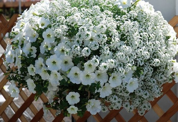 Lobularia 'Snow Princess' uprawa