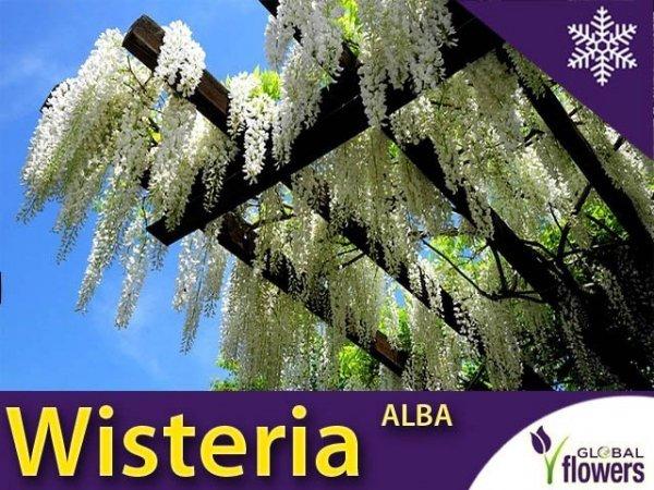 Glicynia Chińska Biała 'Alba' (Wisteria sinensis ) Sadzonka