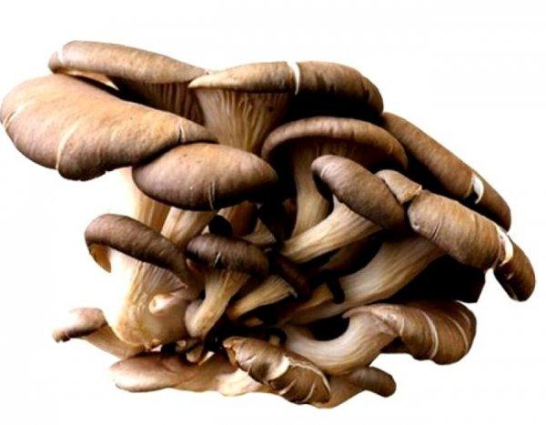 Boczniak ostrygowaty grzybnia na kołkach 20 kołków - działanie lecznicze