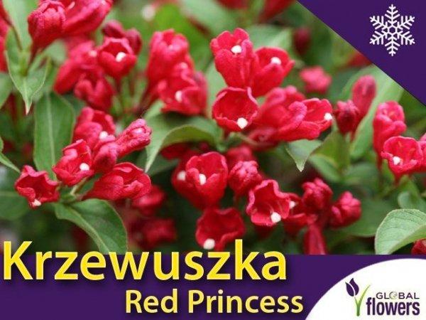 Krzewuszka cudowna 'Red Princess' (Weigela florida) Sadzonka