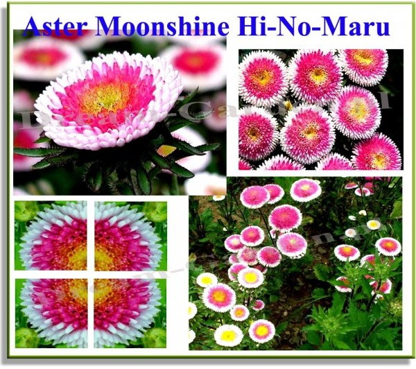 Aster Chiński Liliput Moonshine Hi-No-Maru (Callistephus chinensis)