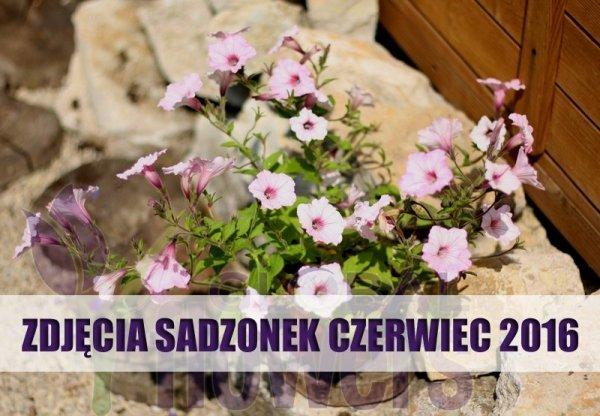 Silverberry, kwiaty różowe, Petunia