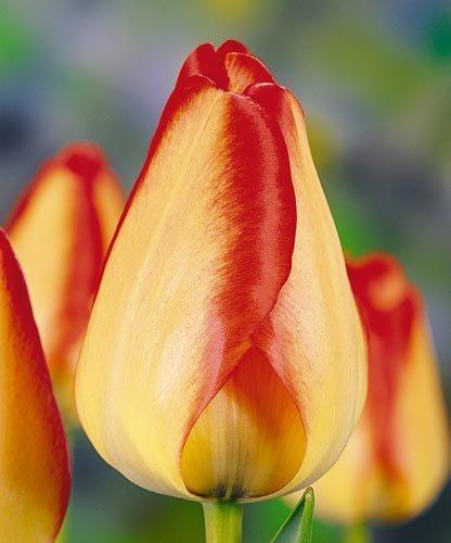 cebulki tulipana darwina