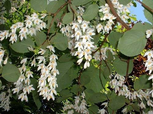 magnolia uprawa