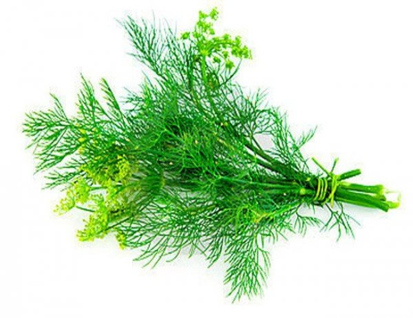 Koper ogrodowy Szmaragd (Anethum graveolens) XXL 100g