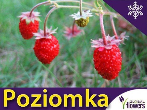 Poziomka Regina Sadzonka (Fragaria vesca) duże owoce