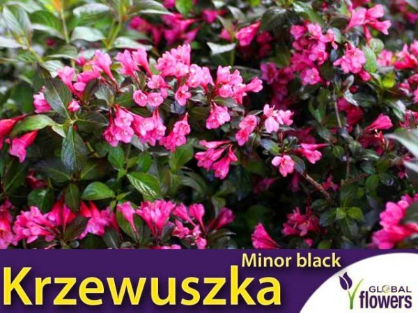 Krzewuszka cudowna 'Minor black ®' (Weigela florida) Sadzonka