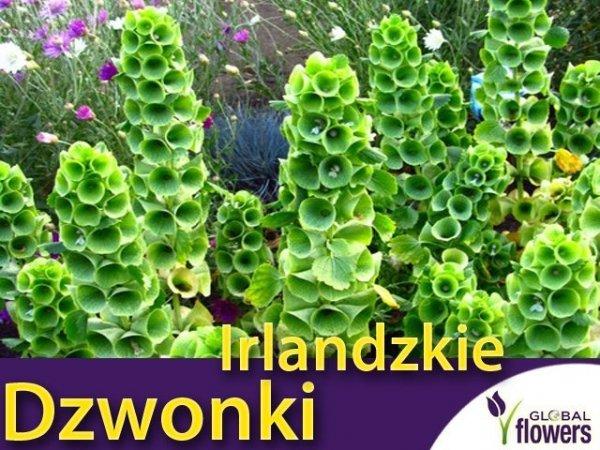 Dzwonki Irlandzkie (Molucella Laevalis) nasiona