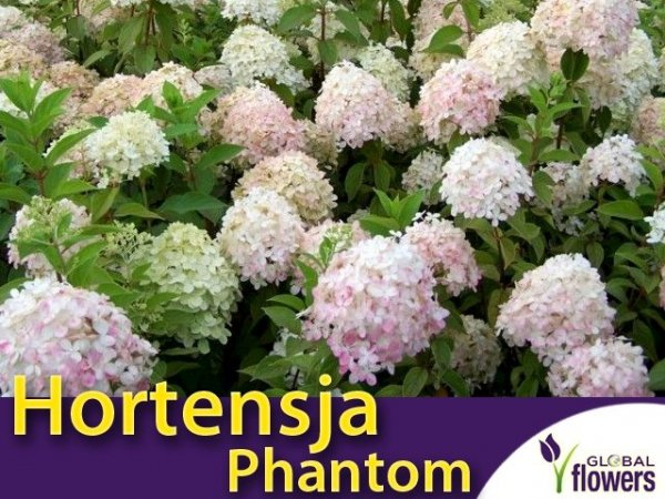 Hortensja Bukietowa 'Phantom' (Hydrangea paniculata) Sadzonka