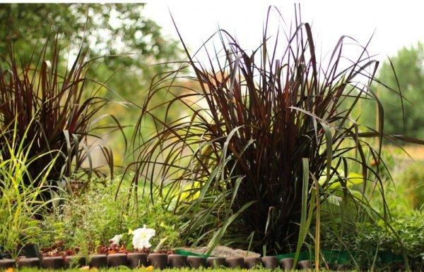Pennisetum purpureum uprawa