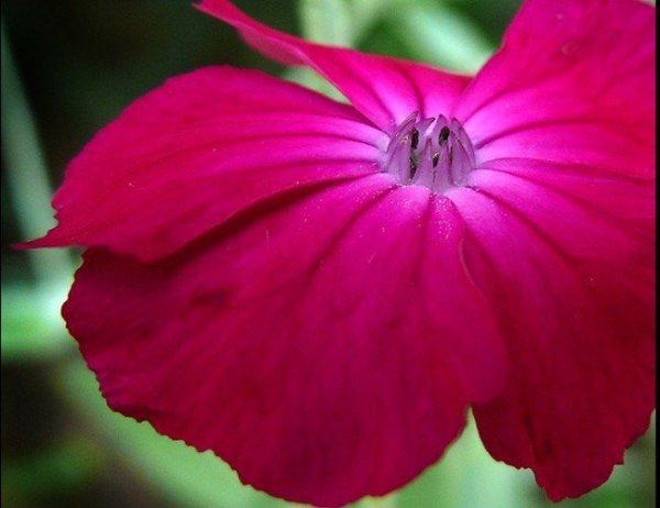 Firletka Wieńcowa karminowo-czerwona (Lychnis coronaria)