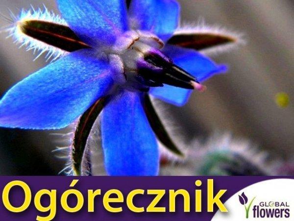 Ogórecznik lekarski - (Borago officinalis) 2g