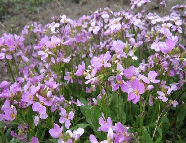 Gęsiówka alpejska różowa (Arabis alpina)