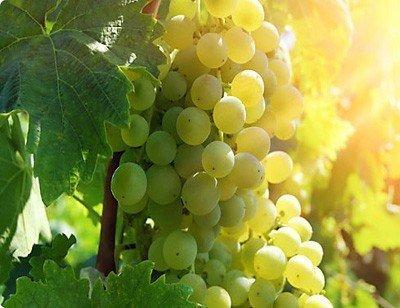 Winorośl uprawa i przycinanie
