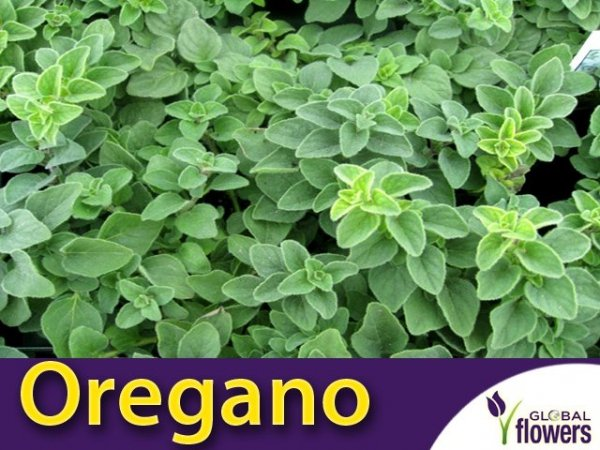 Oregano 'Hot and Spicy' SADZONKA