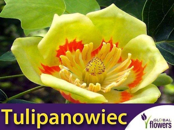 Tulipanowiec (Liriodendron tulipifera) Sadzonka