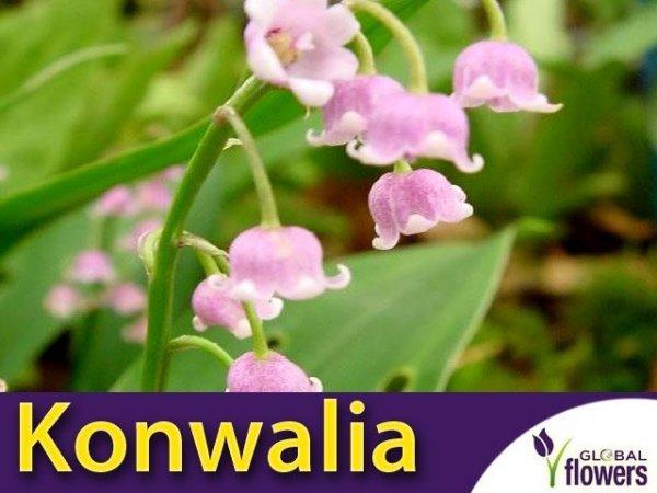 Konwalia majowa Różowa (Convallaria majalis) CEBULKA
