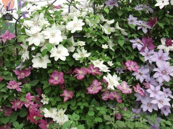 Clematis pielęgnacja rośliny
