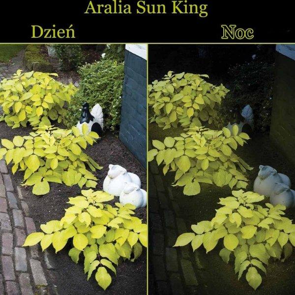 Cordata Sun King