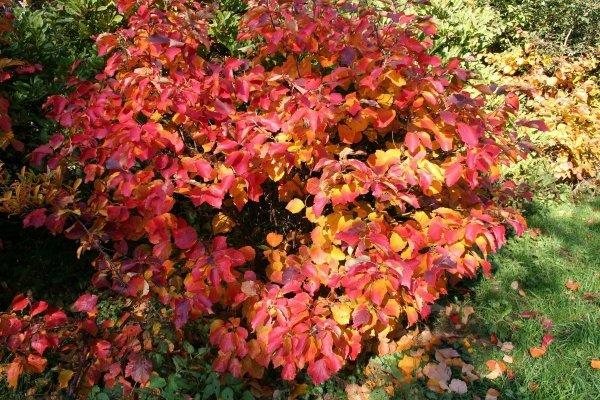 Fotergilla większa - Krzewy liściaste