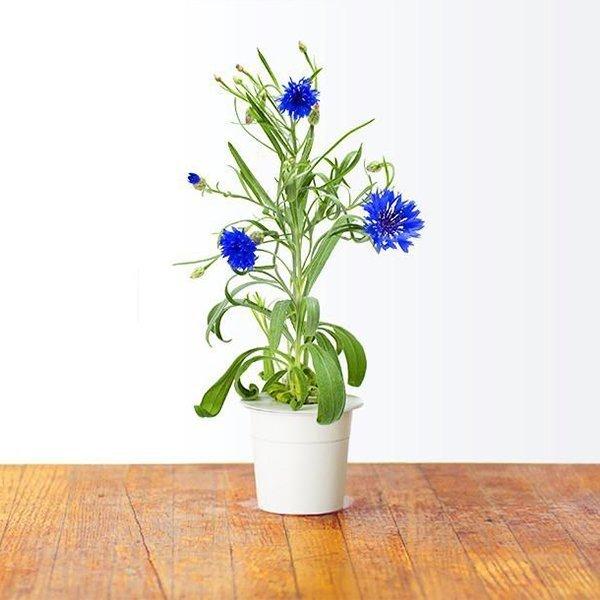 Chaber to jadalny kwiat, który służy do dekoracji potraw oraz naparów czy herbat