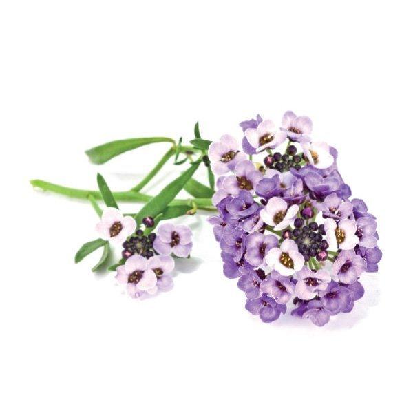 Piękne, delikatne kwiaty smagliczki nadmorskiej