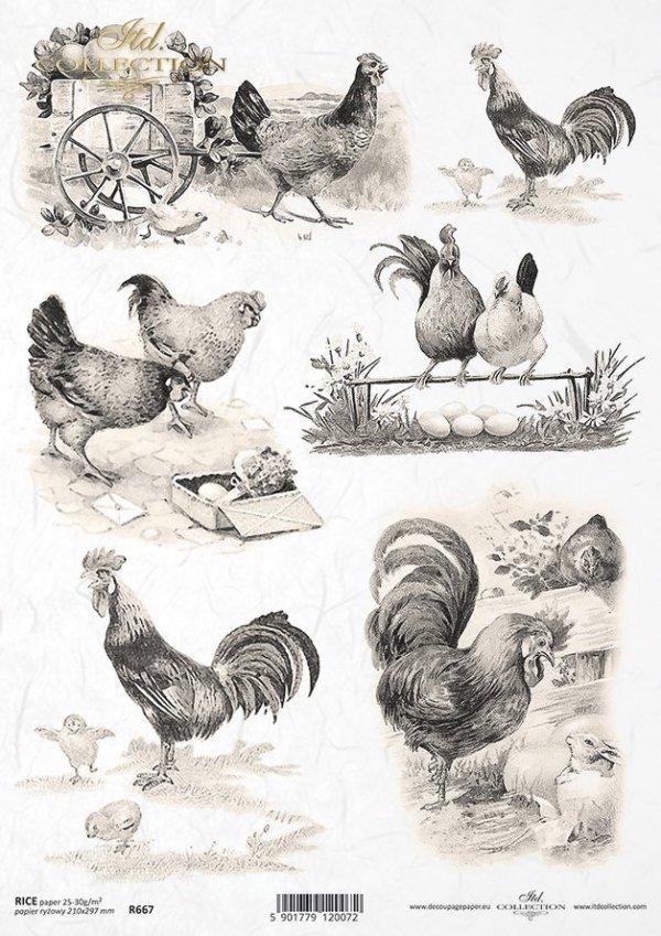 kura, kury, kogut, koguty, hen, cock, R667