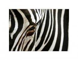 zebra - reprodukcja