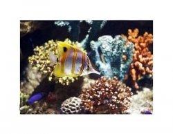 Ryba Motylowa - reprodukcja