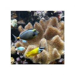 Poissons d'eau de mer - reprodukcja