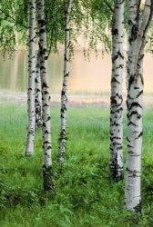 Fototapeta - Brzozowy las - 183x254 cm