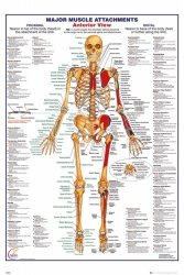 Ciało Człowieka - Przód Budowa (wersja angielska) - plakat
