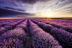 Lavender Field Sunset - plakat