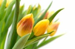 Fototapeta na ścianę - Żółte Tulipany - 175x115 cm