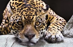 Fototapeta na ścianę - Jaguar - 175x115 cm