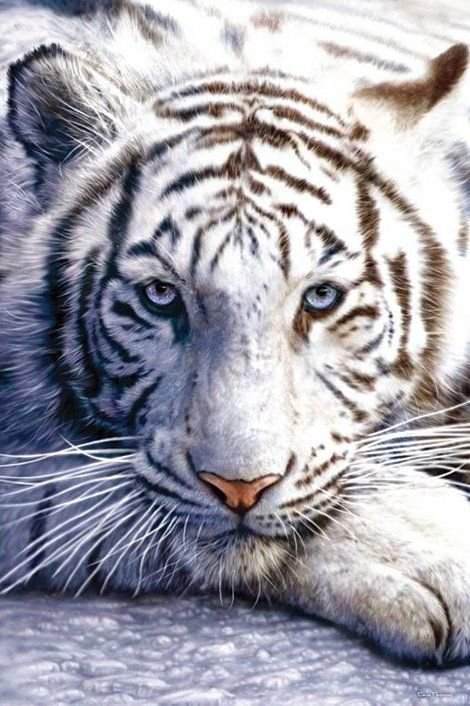 Bengalski Tygrys - plakat