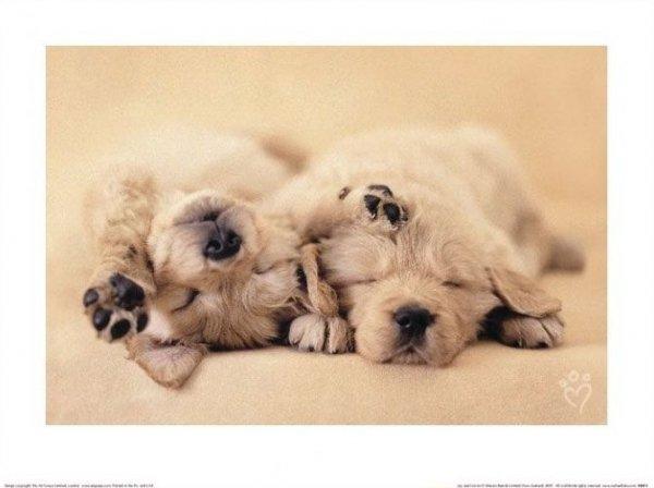 Śpiące psy - reprodukcja